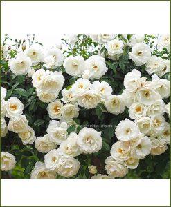 Climbing Rose White (Creeper White Rose)