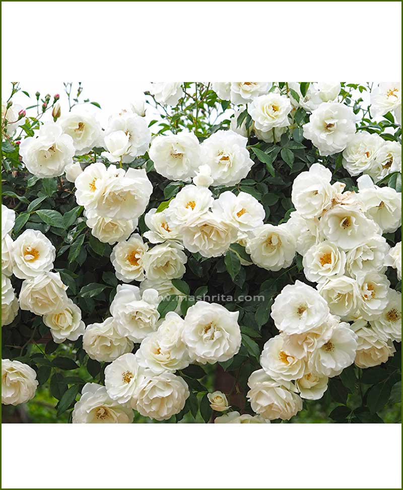 Climbing Rose White (Creeper White Rose)