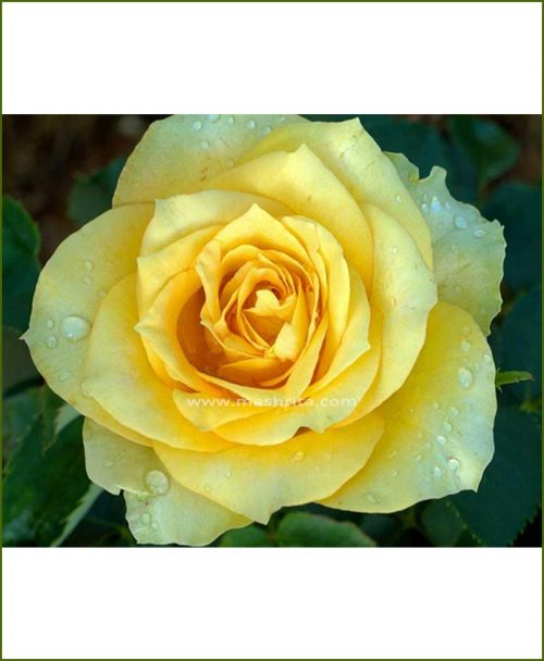 ©MNC-Yellow-Rose-Plant