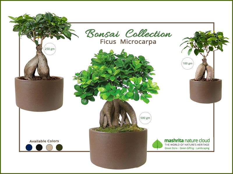Bonsai Gift Plants