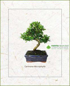 Carmona Microphylla S Shape Bonsai