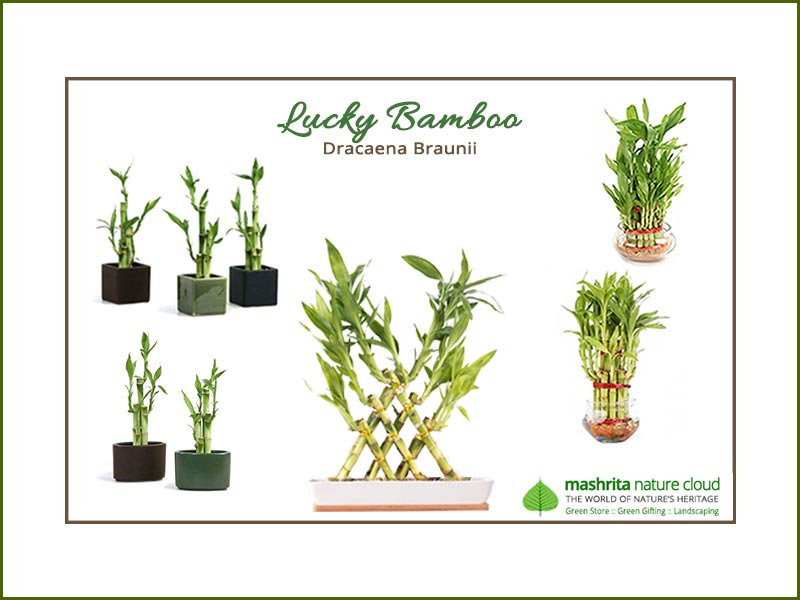 Corporate Gift Plants