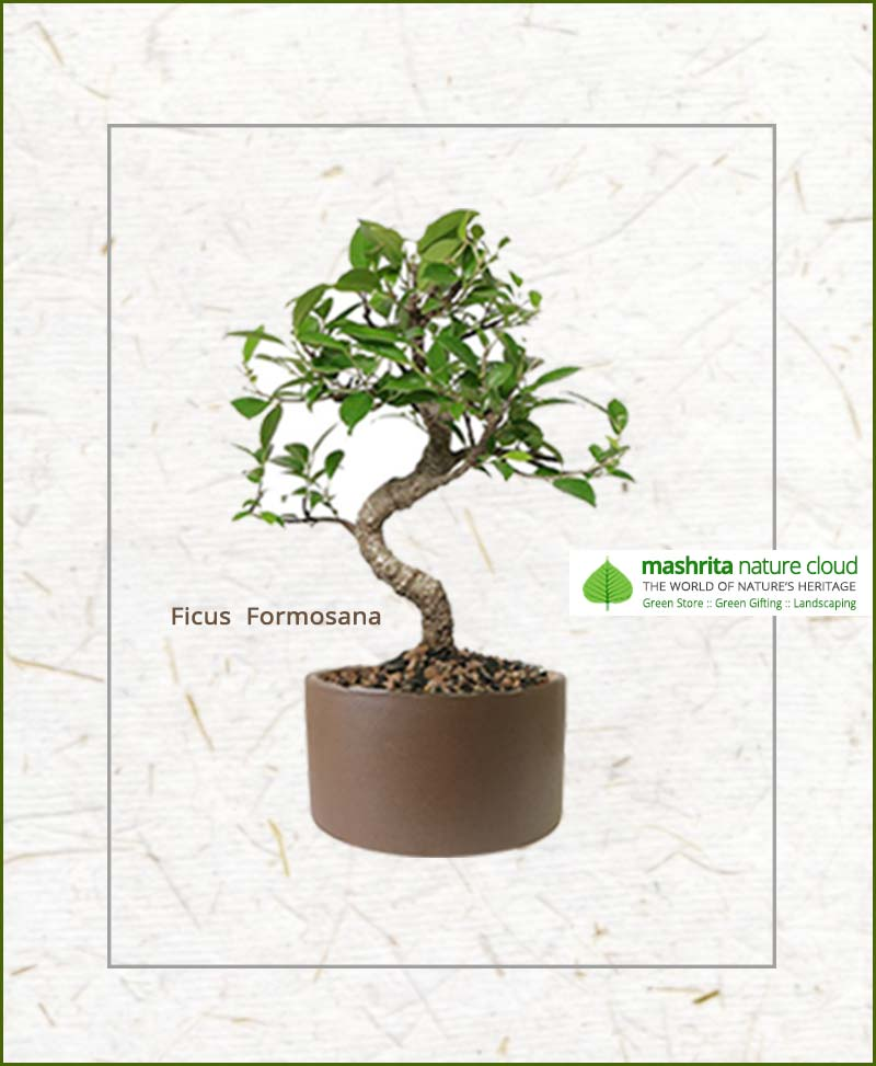 Ficus Formosana S Shape Bonsai