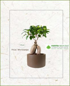 Ficus Microcarpa Bonsai 100grm