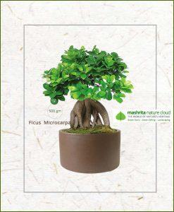 Ficus Microcarpa Bonsai 500gms