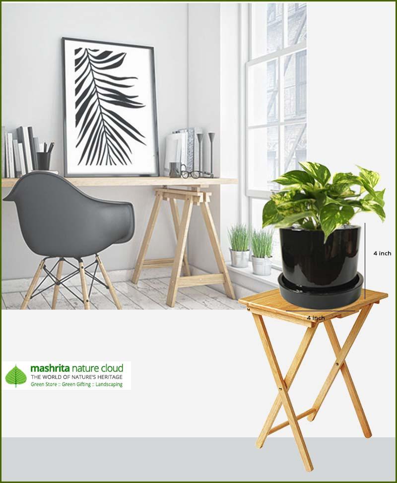 Money Plant in Black Ceramic Pot