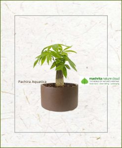 Pachira Aquatica Bonsai