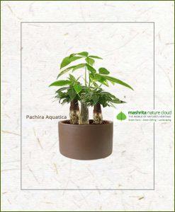 Pachira Aquatica Multi Stem Bonsai