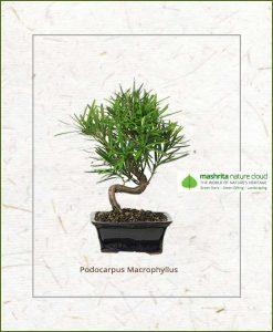 Podocarpus Macrophyllus S Shape Bonsai