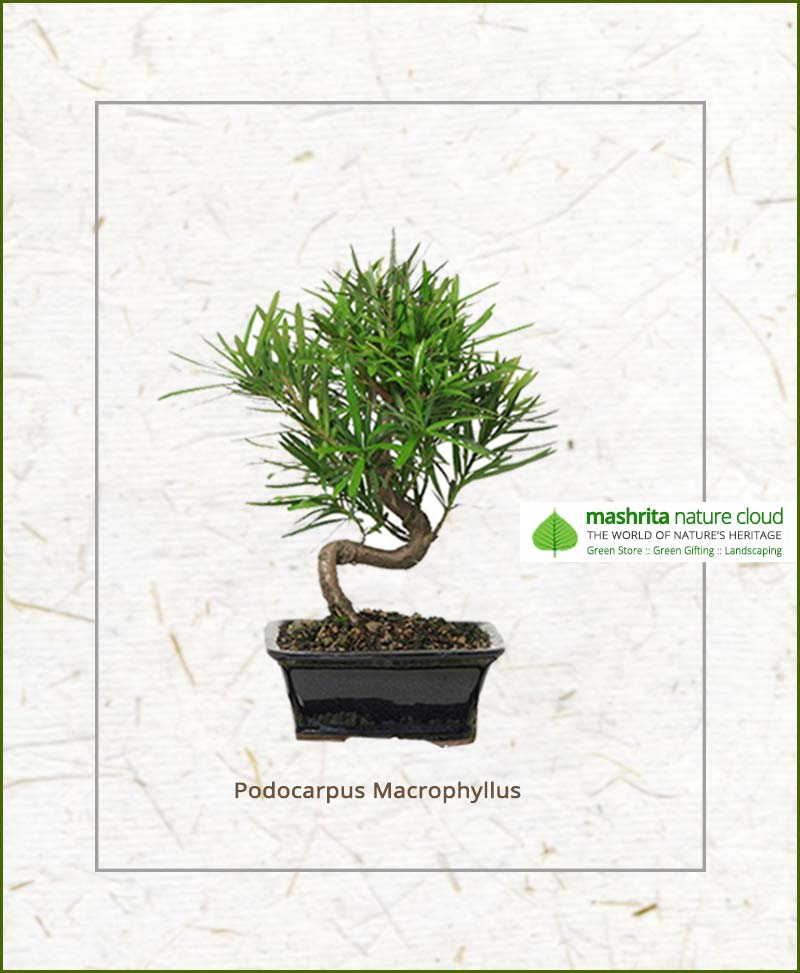 Podocarpus Macrophyllus S Shape Bonsai
