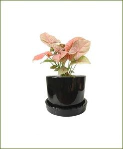 Syngonium Pink with Black Ceramic Pot