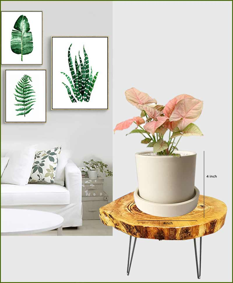 Syngonium Pink with Off White Ceramic Pot