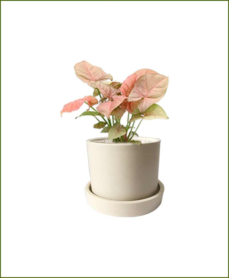 Syngonium Pink with Off White Ceramic Pot India