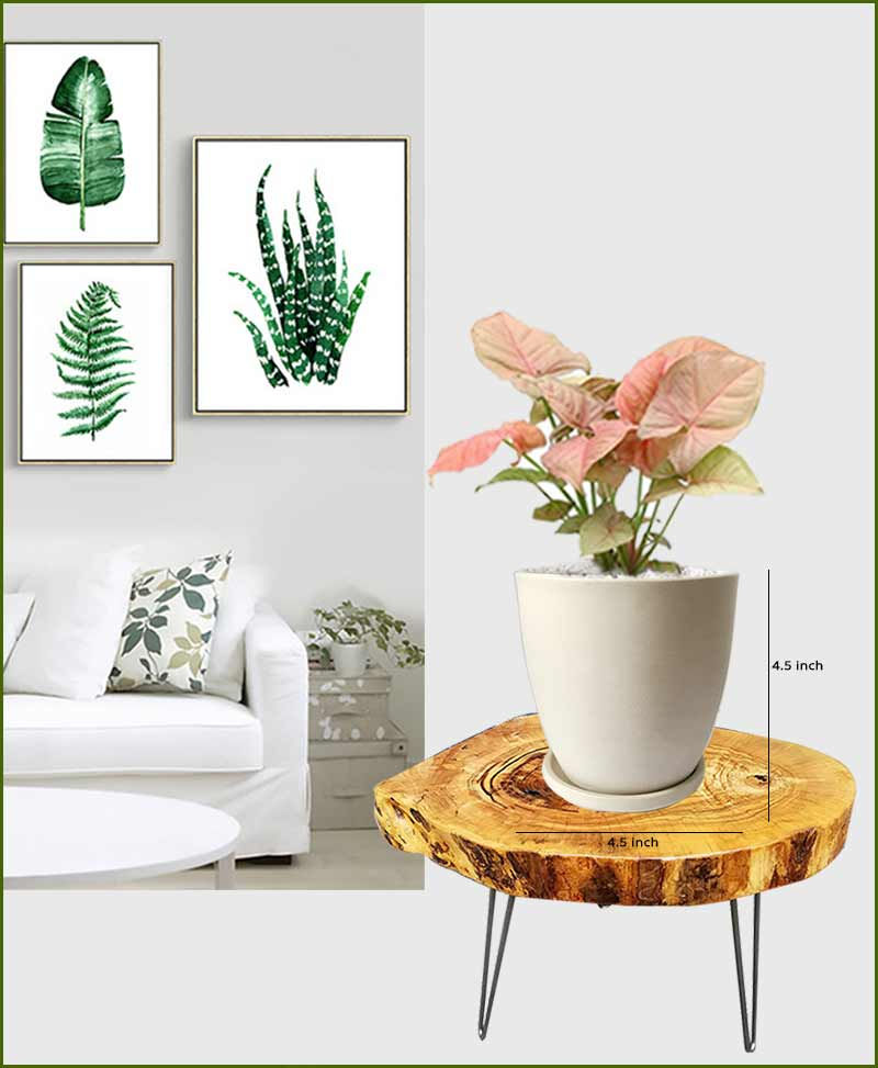 Syngonium Pink with Off White Oval Ceramic Pot
