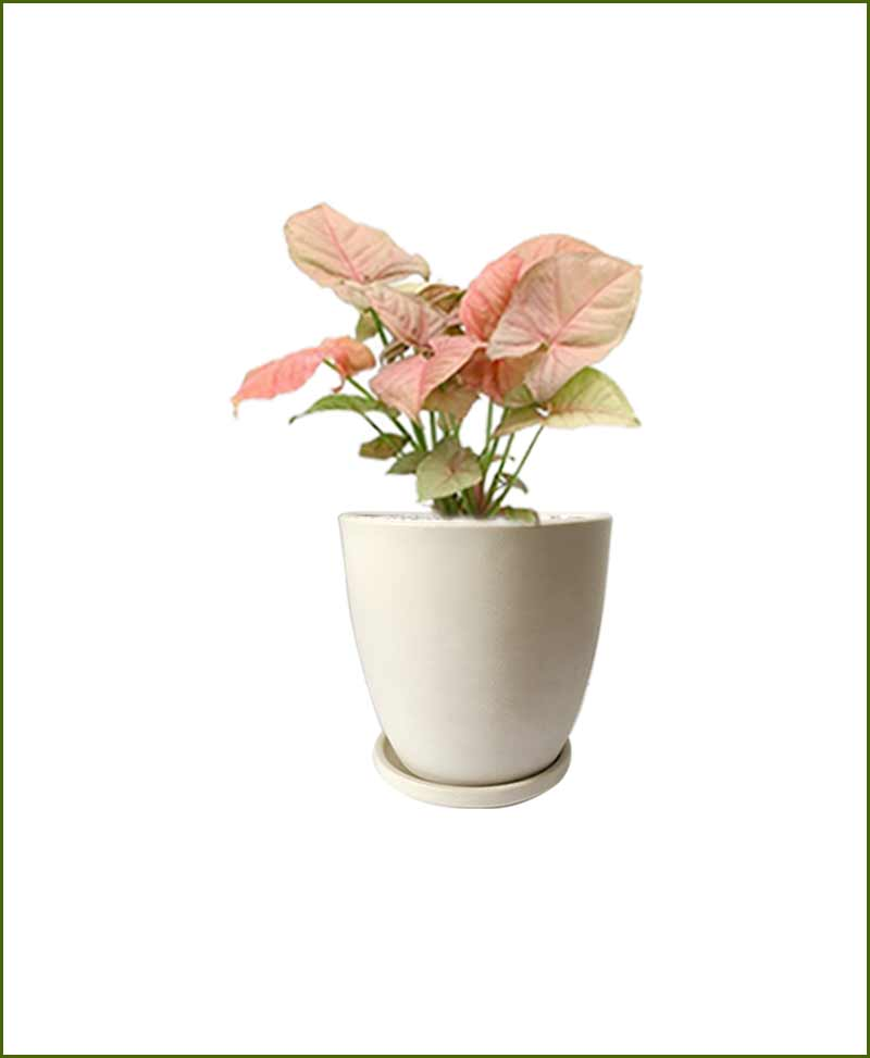 Syngonium Pink with Off White Oval Ceramic Pot India