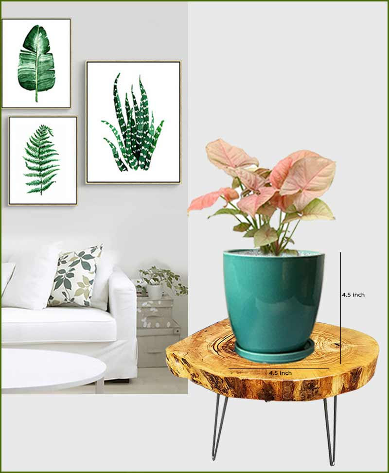 Syngonium Pink with Sea Green Oval Ceramic Pot