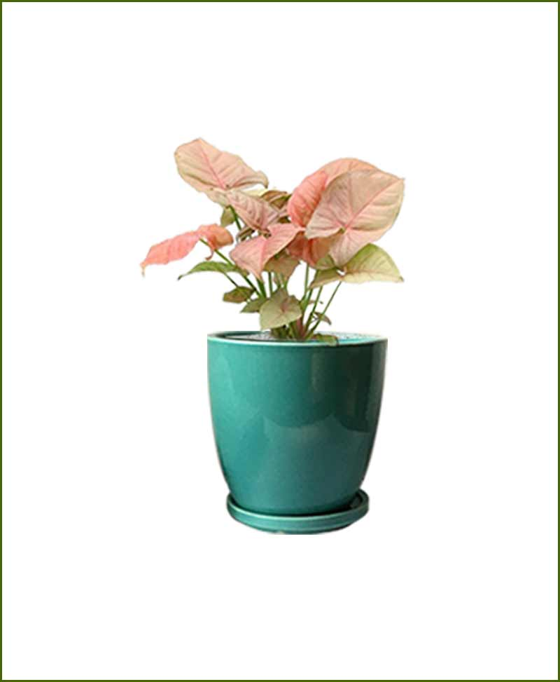 Syngonium Pink with Sea Green Oval Ceramic Pot India