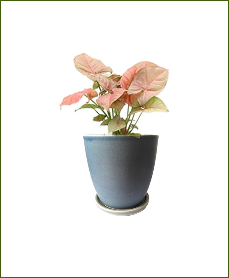 Syngonium Pink with Sky Blue Oval Ceramic Pot India