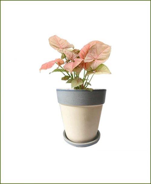 Syngonium Pink with Sky Blue Strip White Ceramic Pot India