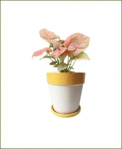 Syngonium Pink with Yellow Strip White Ceramic Pot India