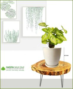 Syngonium Pixie with Off White Oval Ceramic Pot
