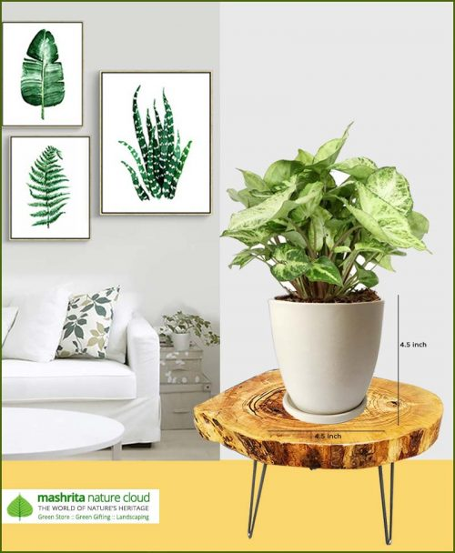 Syngonium Variegated with Off White Oval Ceramic Pot