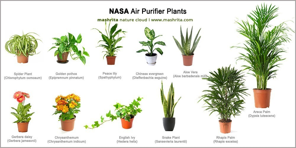 29 Best air purifying plants from NASA clean air study House Plant Peace Lily Outdoors on lady palm plant outdoors, morning glory plant outdoors, dragon tree plant outdoors, croton plant outdoors, gardenia plant outdoors, wandering jew plant outdoors, ficus plant outdoors, aloe plant outdoors,