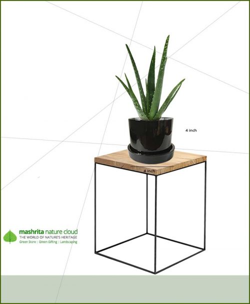 Aloevera in Black Ceramic Pot