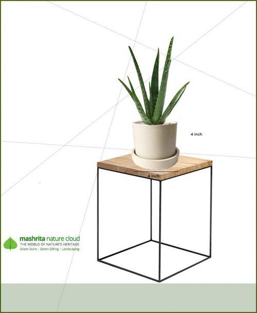 Aloe Vera in Off White Ceramic Pot