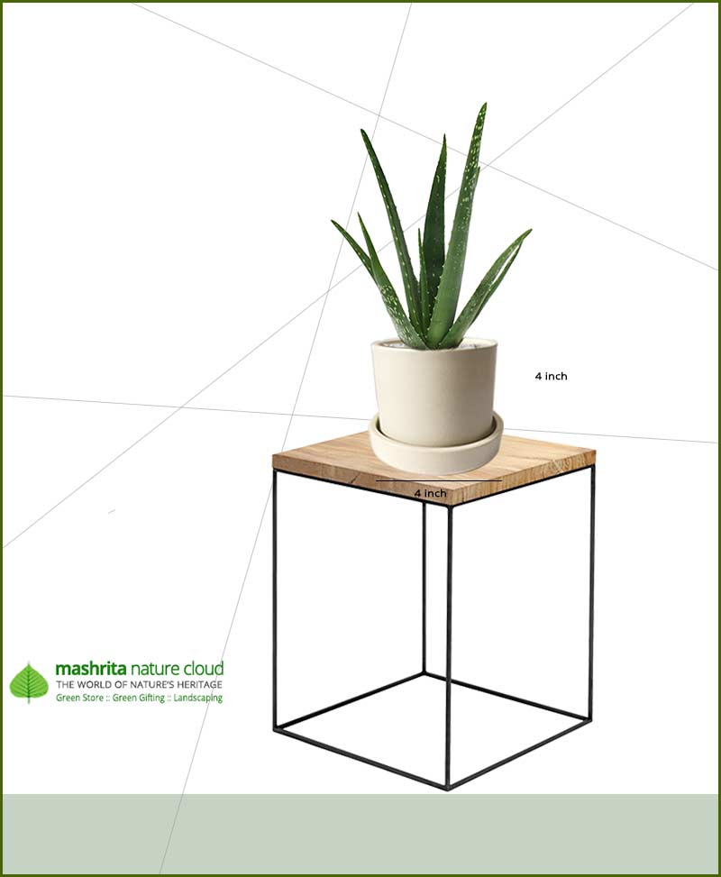 Aloe Vera in Off White Ceramic Pot