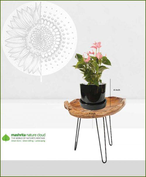 Anthurium Pink in Black Ceramic Pot