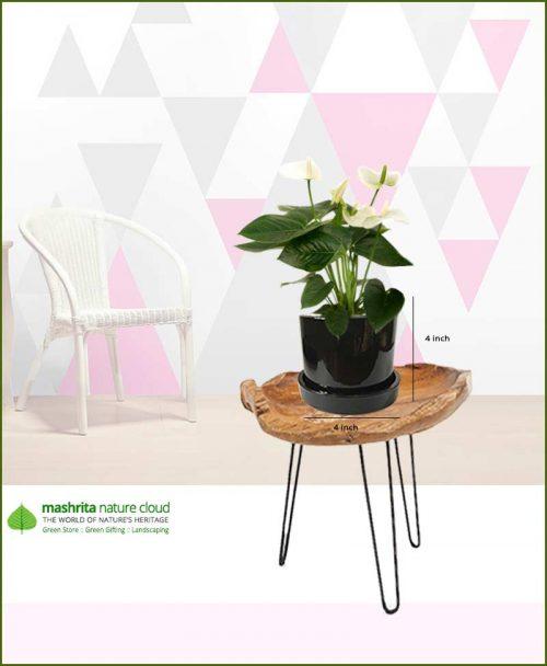 Anthurium White in Black Ceramic Pot