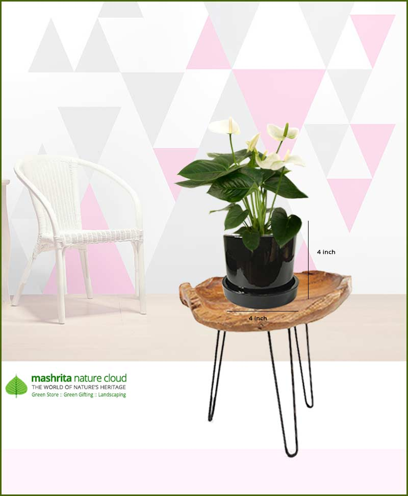 Anthurium White in Black Ceramic Pot