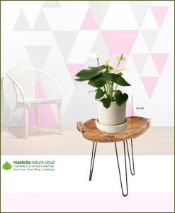 Anthurium White in Off White Ceramic Pot