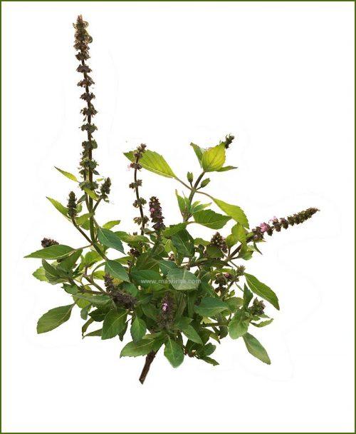 Buy-American-Basil-Potted-Plant-(Ocimum-Americanum)