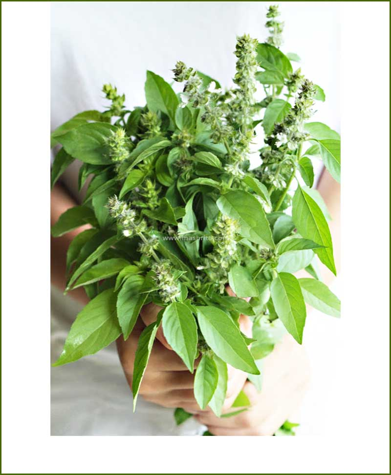 Lemon Basil Potted Plant (Ocimum Citriodorum)