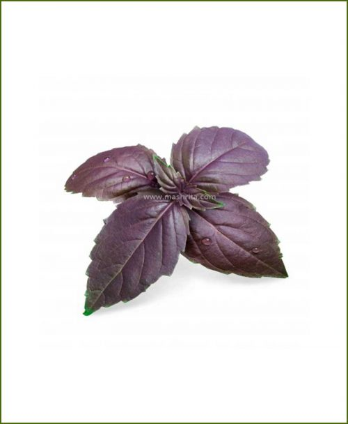 Buy-Purple-Basil-Potted-Plant-(Ocimum-Basilicum)