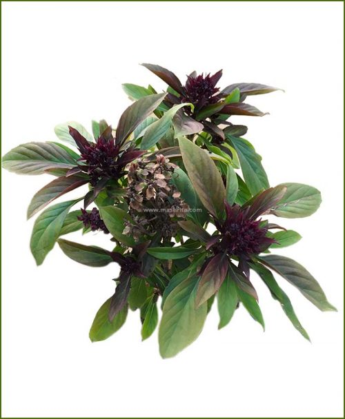 Buy-Thai-Basil-Siam-Queen-Potted-Plant-(Ocimum-Thyrsiflora)