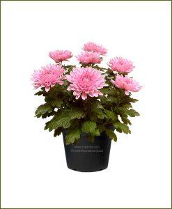 Chrysanthemum-Pink-Mashrita-Nature-CLoud