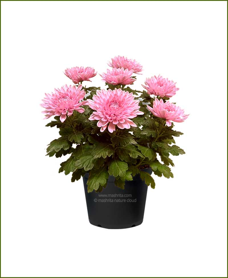 Chrysanthemum-Pink-Mashrita-Nature-CLoud