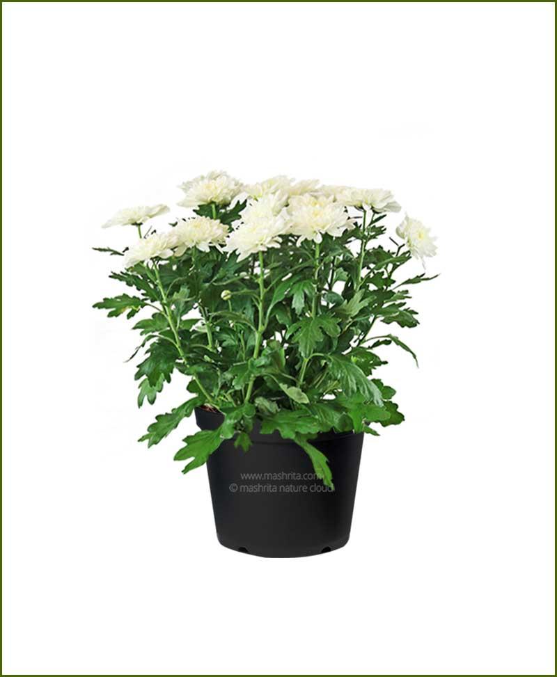 Chrysanthemum-White-Mashrita-Nature-CLoud