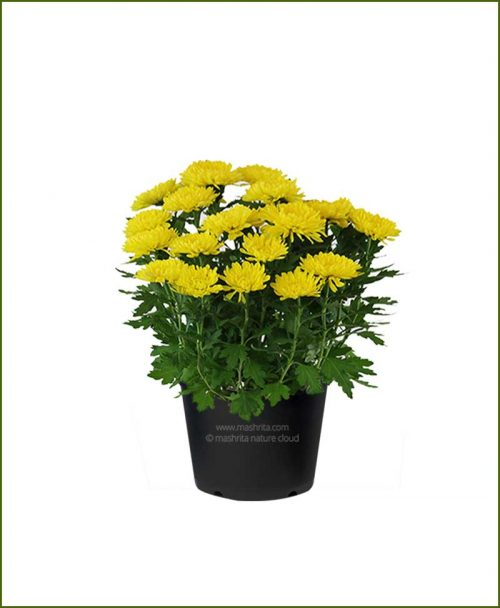 Chrysanthemum-Yellow-Mashrita-Nature-CLoud