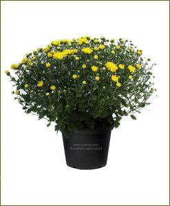 Chrysanthemum-Yellow-Pompon-Mashrita-Nature-CLoud