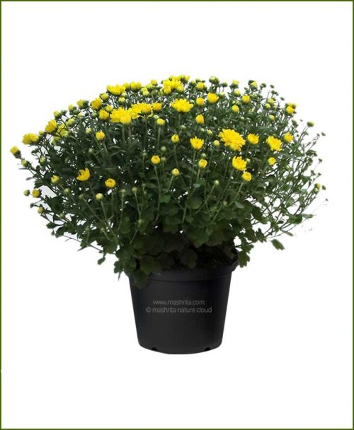 Chrysanthemum-Yellow-Pompon-Mashrita-Nature-CLoud