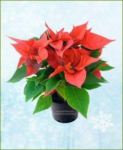 Poinsettia Red Plant (Euphorbia pulcherrima)