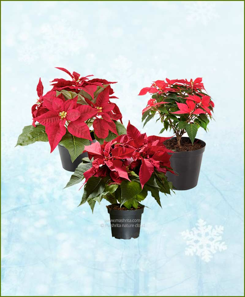Set of Three Poinsettia Red Plant (Euphorbia pulcherrima)