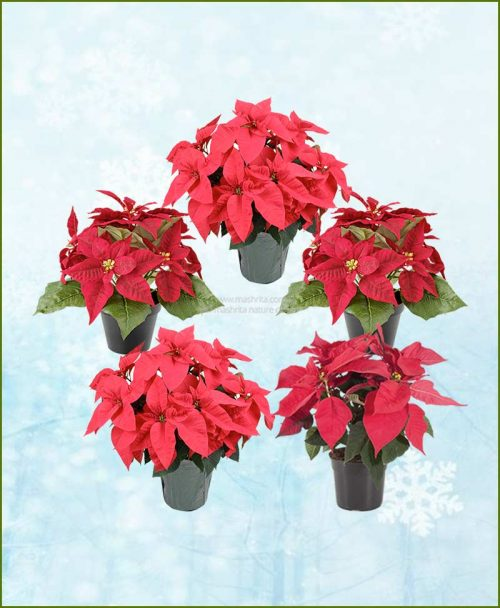Set of Five Poinsettia Red Plant (Euphorbia pulcherrima)