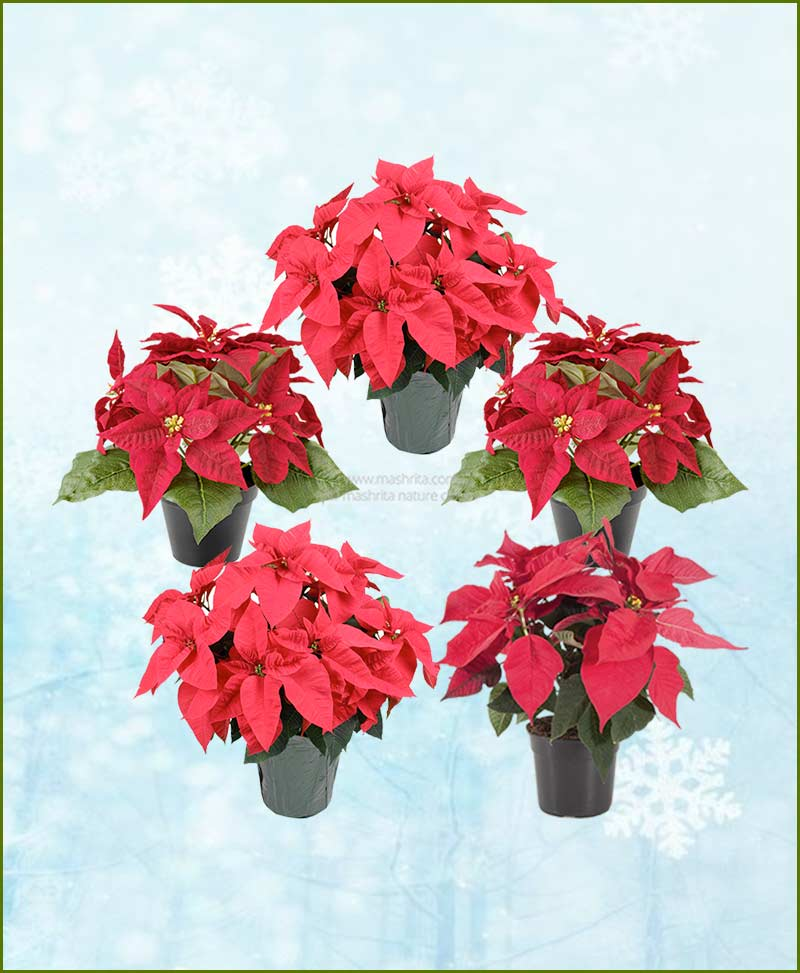 Set of Five Poinsettia Red Plant (Euphorbia pulcherrima)