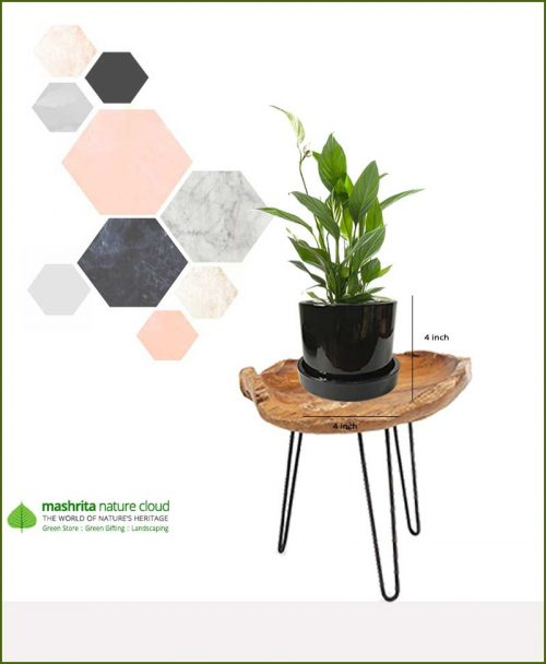 Spathiphyllum Peace Lily in Black Ceramic Pot