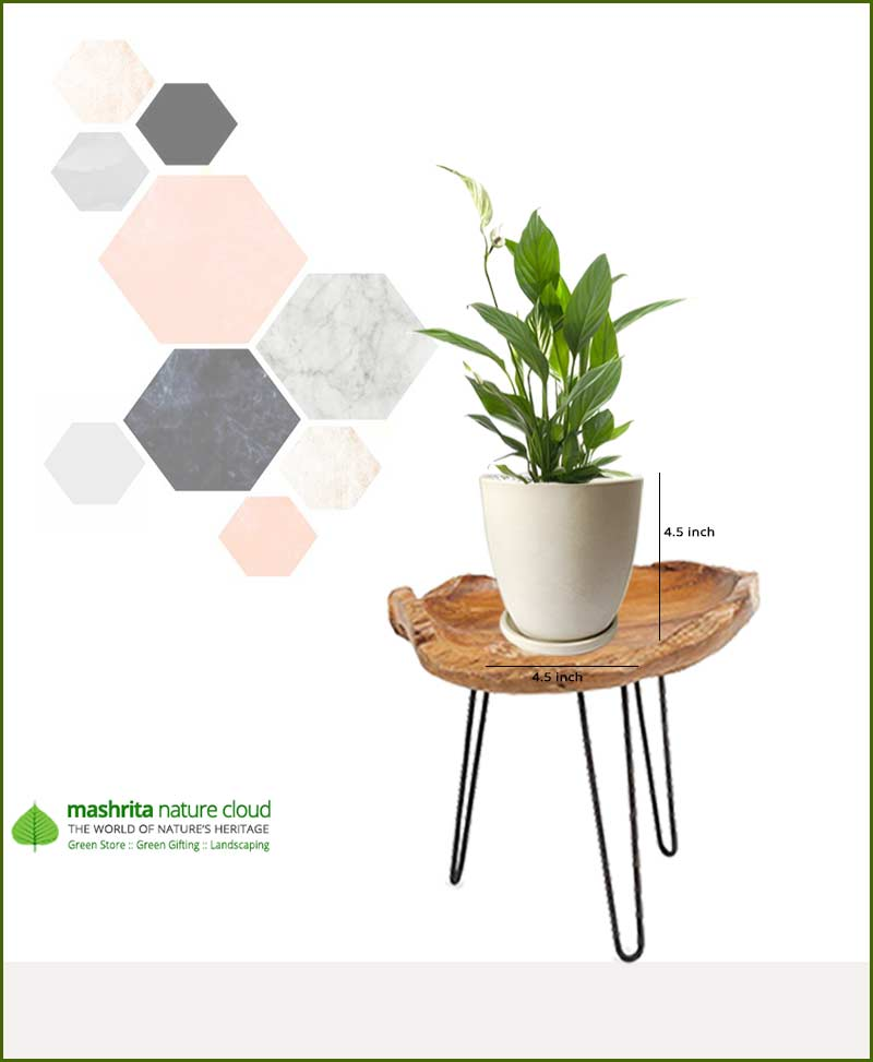Spathiphyllum Peace Lily in Off White Oval Ceramic Pot